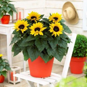 Sunsation Flame Seed Gift for Gardeners 2